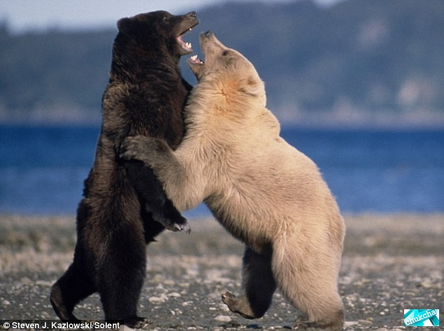 1266439891_bears-fighting-03.jpg