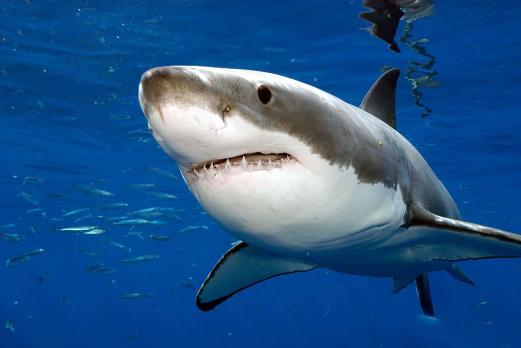 great-white-shark1.jpg