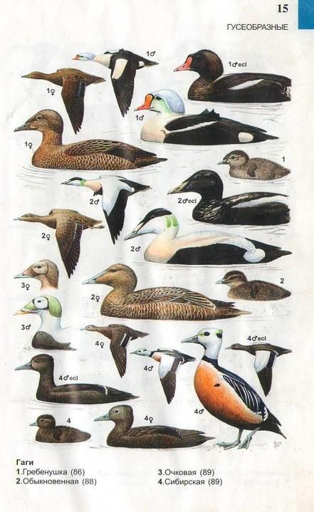 картинки водоплавающих птиц с названиями русская земля талантами