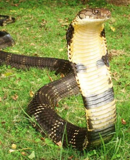 Королевская кобра.jpg