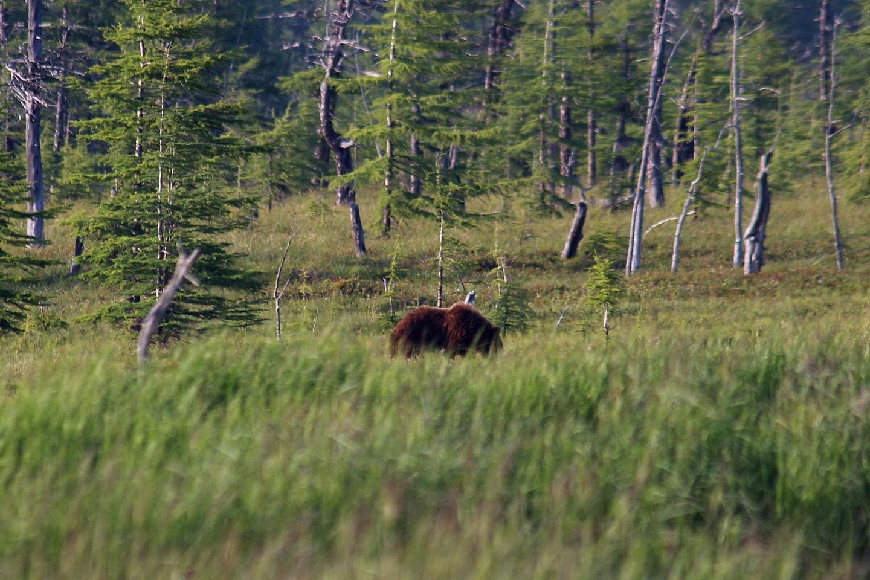 Крупный медведь пасется на мари_новый размер.jpg