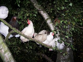 tree-chicken-645816_1280.jpg